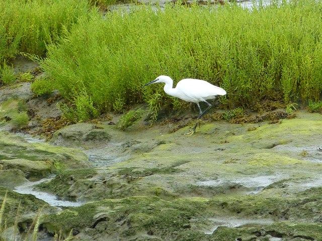 Little Egret  (Egretta garzetta) at Ella Nore