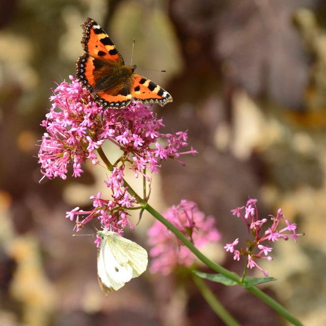 Two butterflies on a garden flower