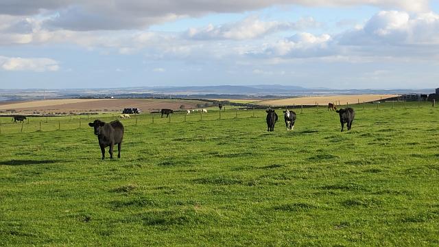 Cattle, Lamberton