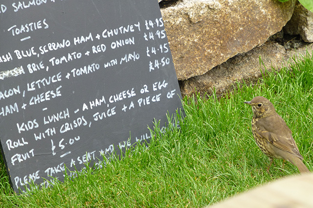 A song thrush inspects the menu