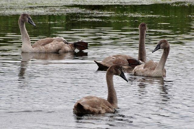 Teignbridge : The Exeter Canal - Swans