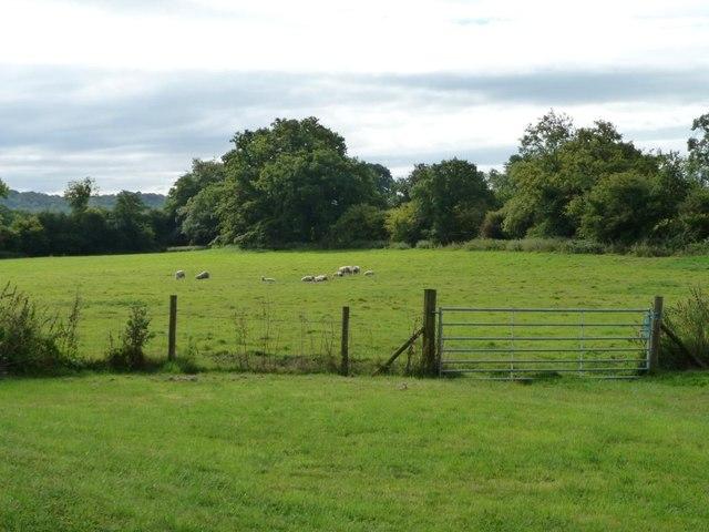 Sheep at Pistyll Farm
