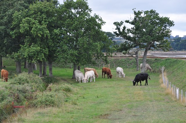 Teignbridge : Grassy Field & Cattle