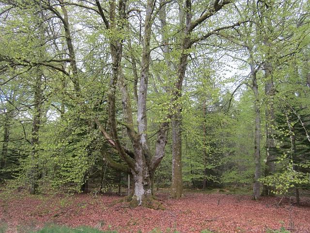 Woodland, Gask