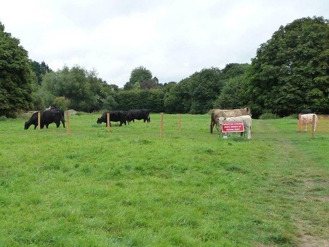 Cattle in the riverside meadow, Abergavenny