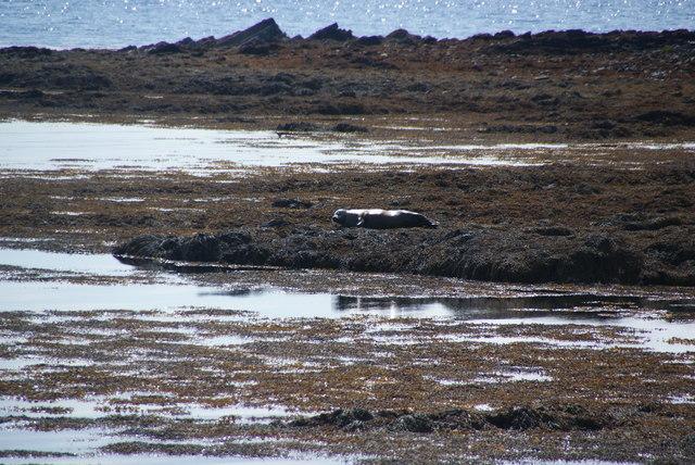 Seal basking in the Bay of Sandber