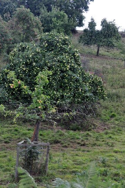 Teignbridge : Apple Trees
