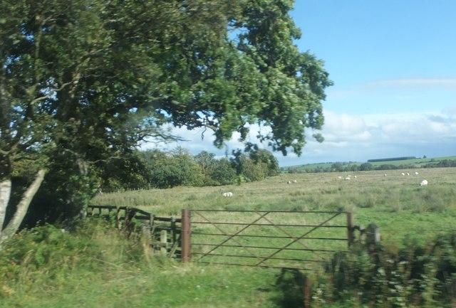 Sheep grazing by Lordenshaw Plantation