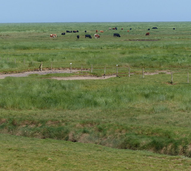 Cattle grazing the salt marsh