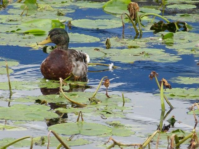 Mallard amid the water lilies