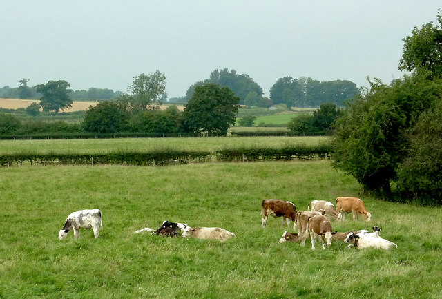 Cattle grazing north-east of Fleckney, Leicestershire