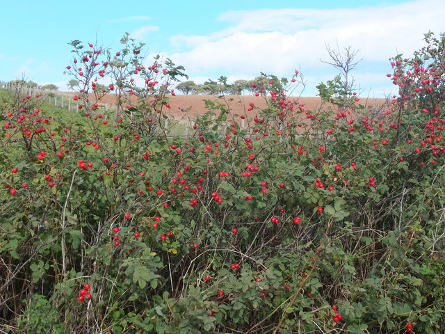 Bright rosehips in the hedgerow