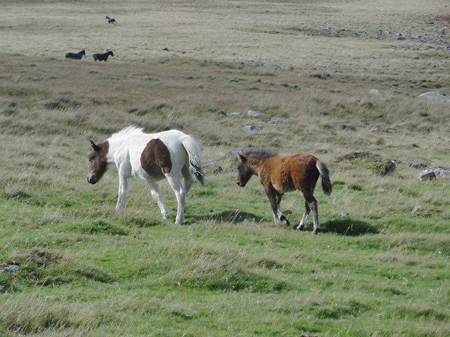 Ponies on Okehampton Common