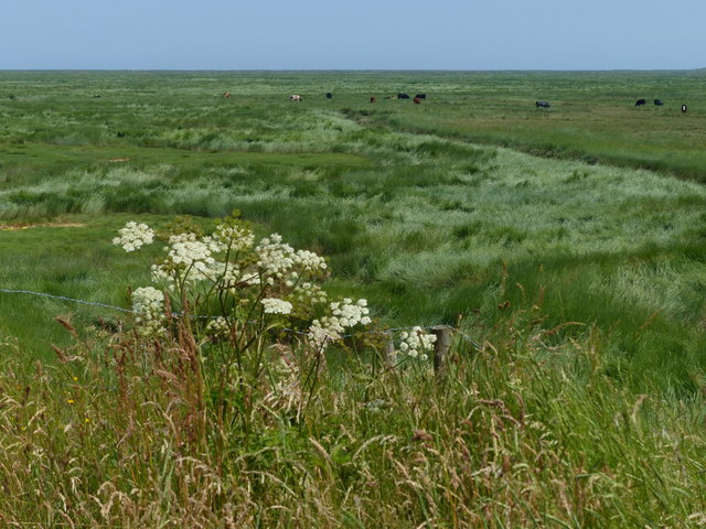 Cattle on the salt marsh