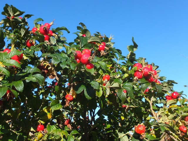 Glistening rosehips
