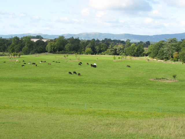 Croome Park, cattle, evergreen shrubbery