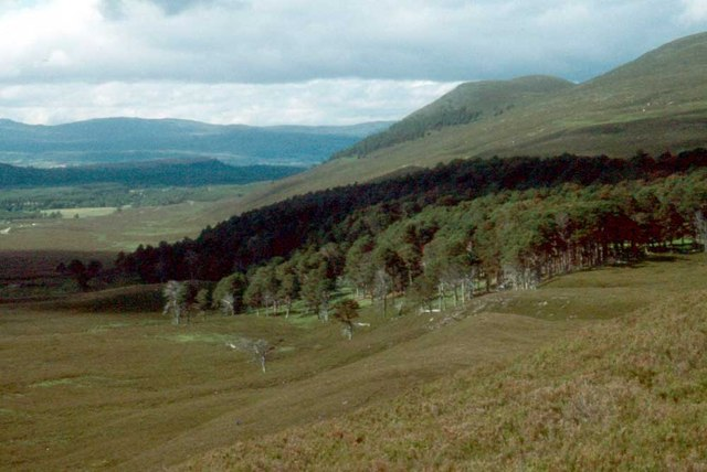 Scots pines at Badan Mosach