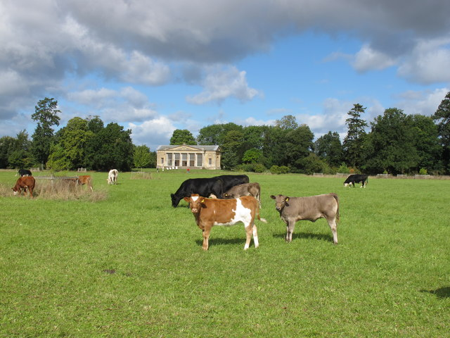 Croome Park cattle
