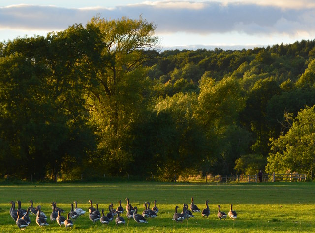 Geese settling down near Purley-on-Thames, Berkshire