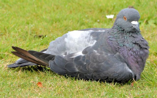 Feral pigeon, Victoria Park, Belfast (3)