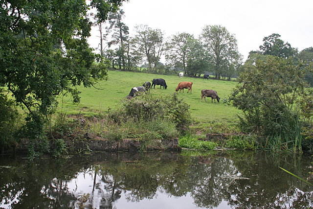 Cattle by the Canal