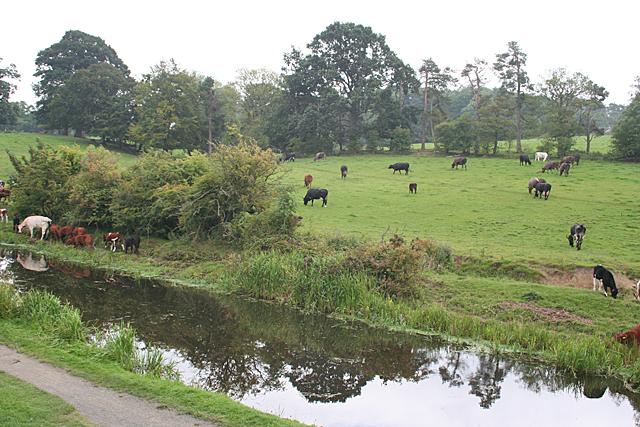 Cattle near Craigs