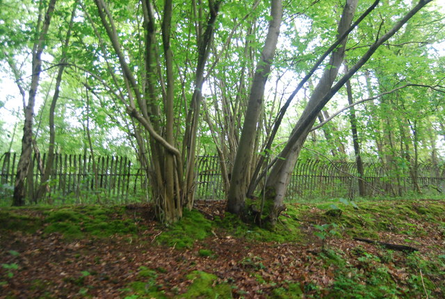 Coppicing by Worth Way