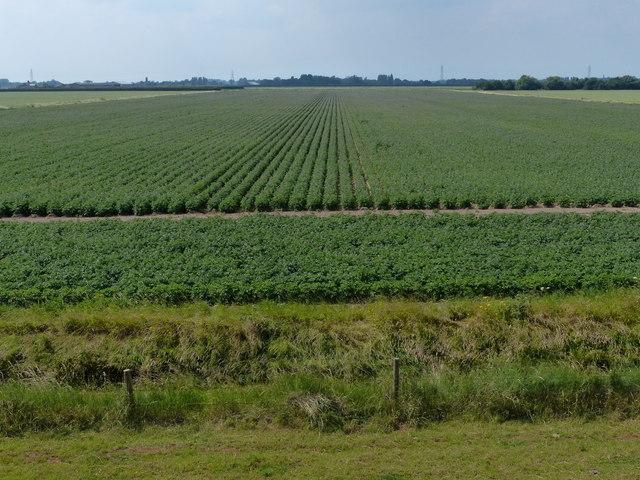 Potato field near College Farm