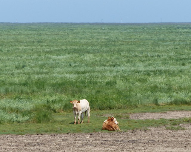 Two cows on the Salt Marsh