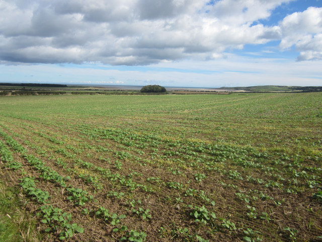 Young crop of oilseed rape near Chester Hill