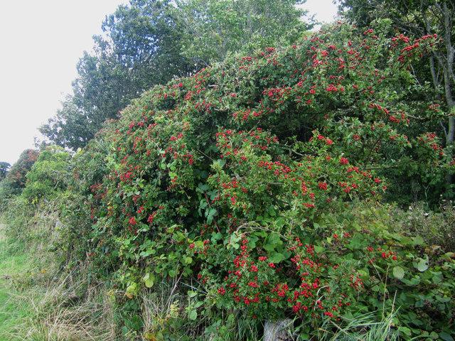 Hawthorn hedge with berries, Cockle Ridge