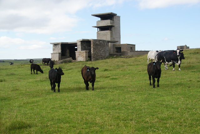 Cows by the WWII defences