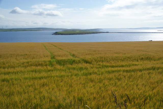 Barley field above Kirk Sound