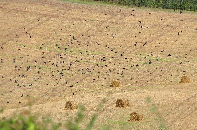 Mid Devon : Field & Birds