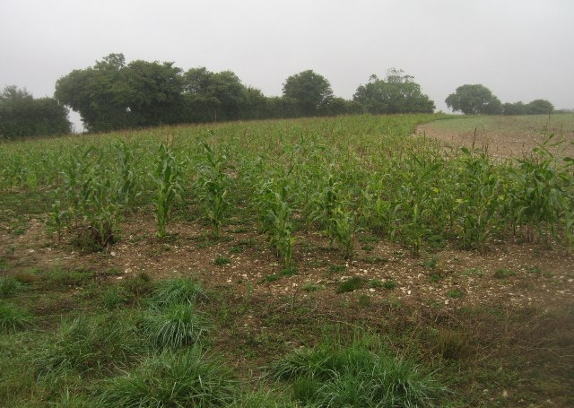 Corner of maize
