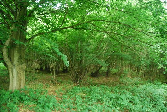 Coppicing, Weir Wood