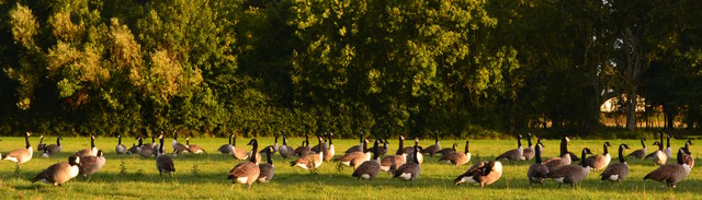 Geese settling down near Purley-on-Thames, Berkshire (II)