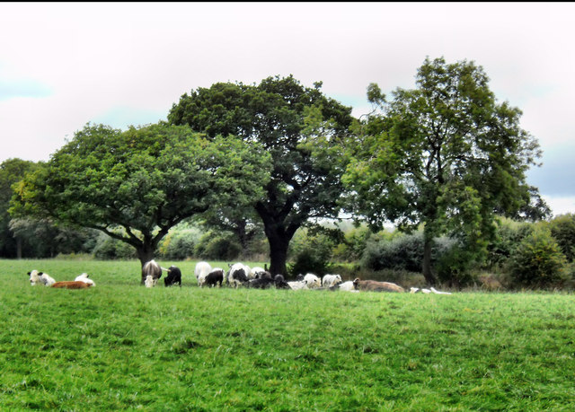 Grazing Cattle at Ledston