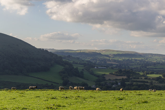 Sheep on Farmland near Cregrina, Powys