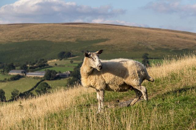 Sheep on Tumulus on Farmland near Cregrina, Powys