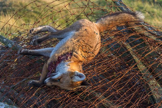 Dead Fox on Moorland near Cregrina, Powys