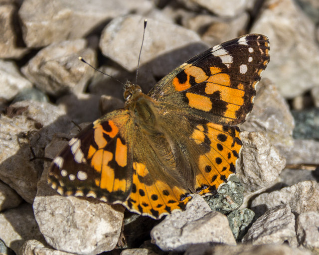 Painted Lady Butterfly, Cregrina, Powys