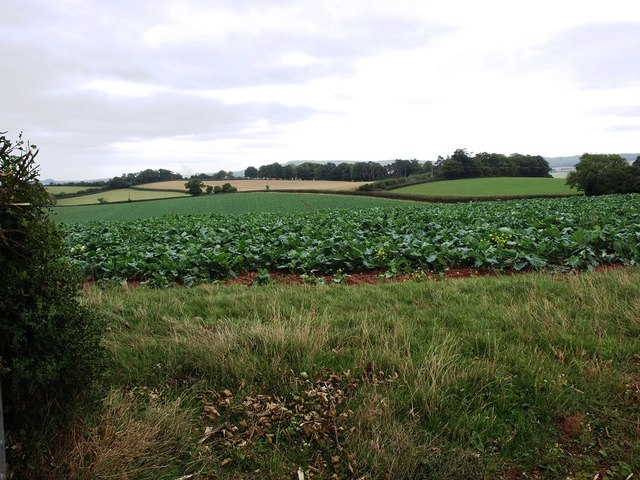 Cabbage field next to Manstree Road
