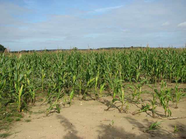 Maize crop north of the B1149 road, Saxthorpe