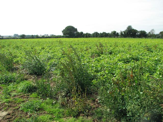 Potato crop beside Croft Lane, Saxthorpe