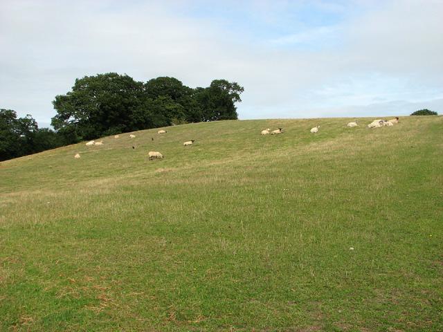 Sheep grazing by Edgefield Street