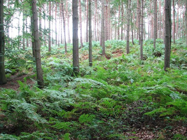 Barningham Green Plantation