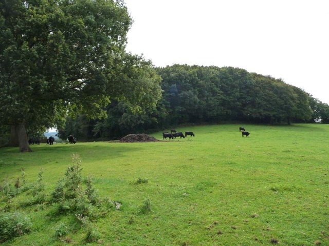 Black cattle at the edge of Cefn Mawr woodland