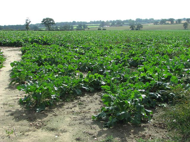 Sugar beet crop by Little Barningham