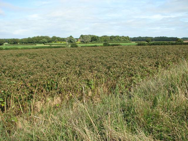 Potato crop by Wood Farm, Edgefield